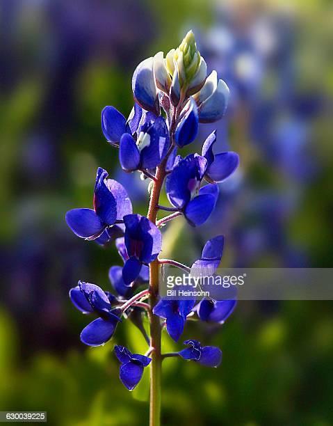 Bluebonnet flower in field near Marble Falls