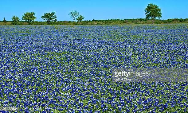 Bluebonnet Meadow in Spring