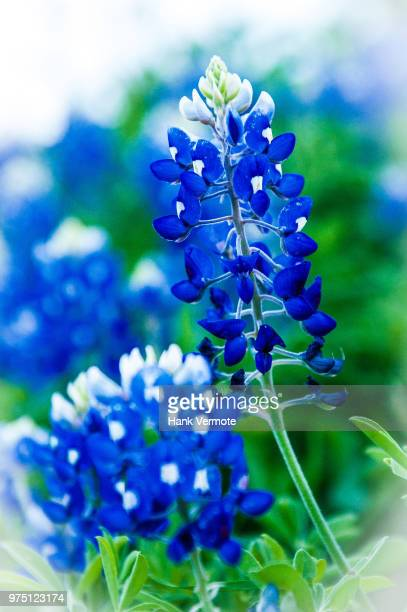 bluebonnet - hank vermote stock pictures, royalty-free photos & images