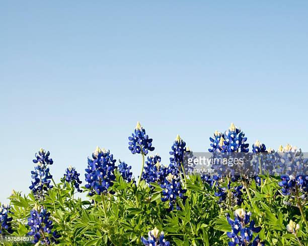 Bluebonnets against a blue sky