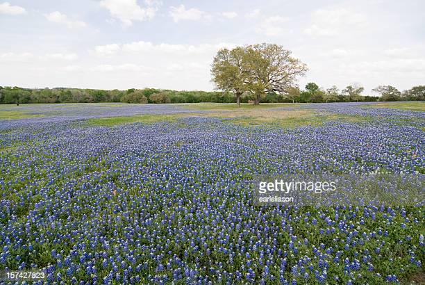 bluebonnets all around - texas bluebonnet stock pictures, royalty-free photos & images
