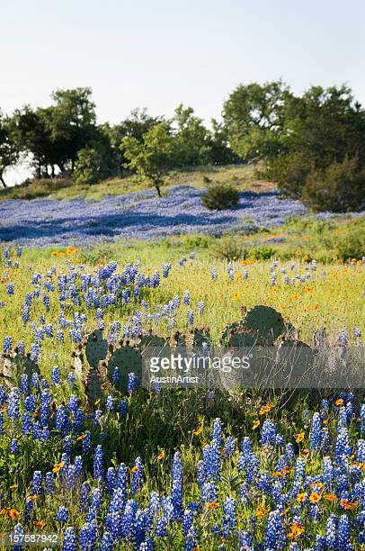 bluebonnets and cacti - live oak tree stock pictures, royalty-free photos & images