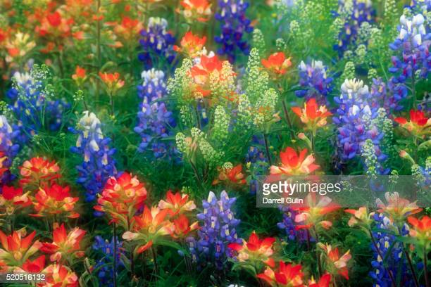 bluebonnets and paint brush - texas bluebonnet stock pictures, royalty-free photos & images
