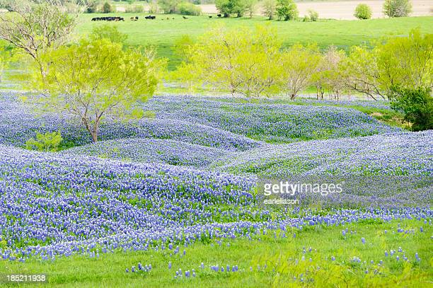 bluebonnets in the pasture - texas bluebonnet stock pictures, royalty-free photos & images