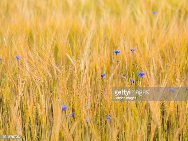 bluebonnets in wheat field - västra götalands län stockfoto's en -beelden