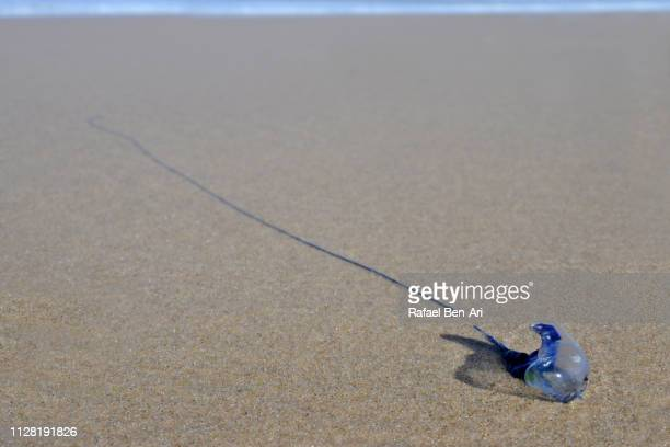 bluebottle jellyfish wash up on beach - rafael ben ari stock pictures, royalty-free photos & images