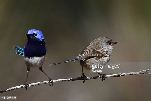 Bluebreasted fairywrens Malurus pulcherrimus male on left female on right Its range is southwest WA and curiously the Eyre Peninsula SA 300 km away...