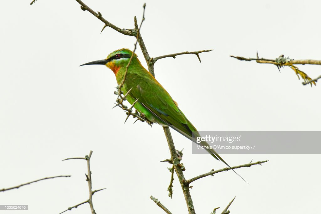Blue-cheeked bee-eater (Merops persicus) : Foto stock