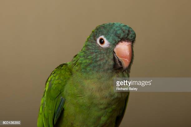 60 Top Conure Pictures, Photos, & Images - Getty Images