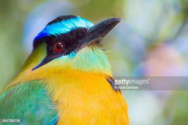 Blue-crowned Motmot (Momotus momota), native to Central America and South America