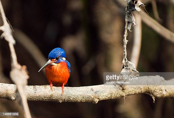 Blue-eared kingfisher (Alcedo meninting) sitting on branch by Menanggol River tribituary to Sungai Kinabatangan, near Sukau.