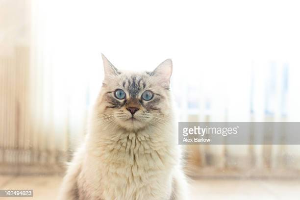blue-eyed casper - ragdoll cat stock pictures, royalty-free photos & images