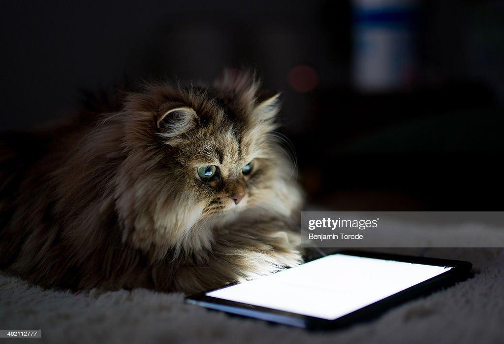 Blue-eyed Persian cat reading tablet in dark