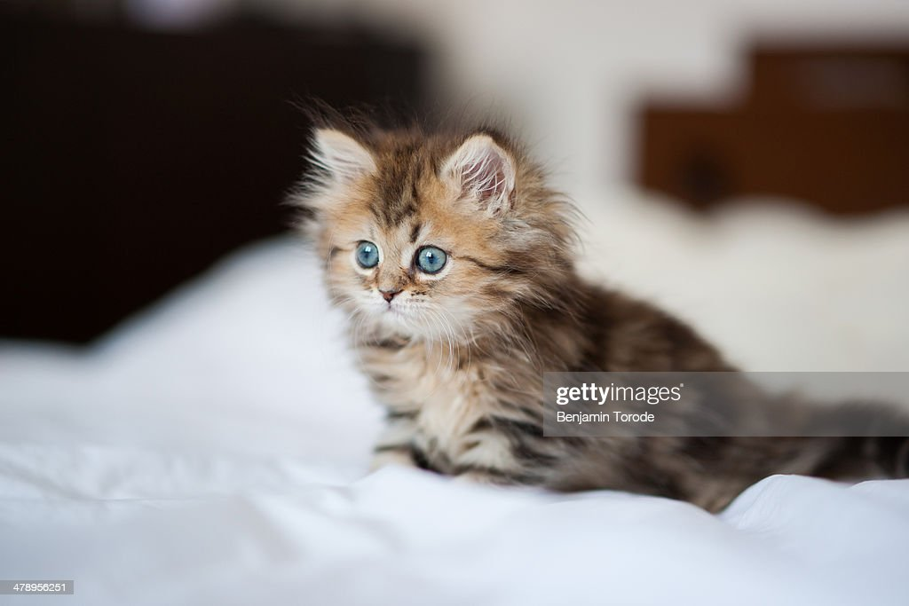 Blue-eyed Persian kitten on white sheets : Stock Photo