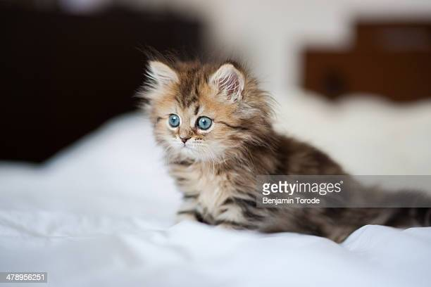 blue-eyed persian kitten on white sheets - persian stock photos and pictures