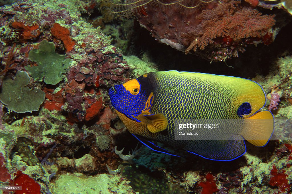 Blue-faced angelfish : Stockfoto