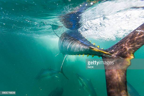 bluefin tuna feeding - bluefin tuna stock pictures, royalty-free photos & images