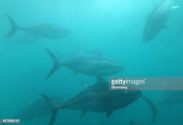 Blue-fin tuna swim inside a sea pen at a fish farm operated by the Kinki University Fisheries Laboratory in Kushimoto, Wakayama Prefecture, Japan, on...