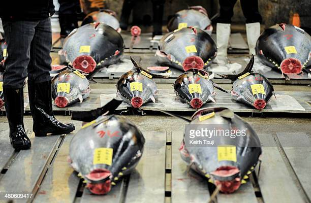 Bluefin tunas are laid on the pallets and ready for buyers to inspect on the year's first auction at Tsukiji Fish Market on January 5 2014 in Tokyo...