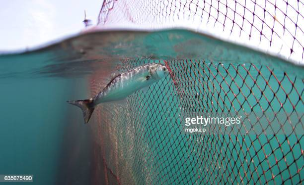 bluefish caught in fish pond trying to escape - オキスズキ ストックフォトと画像
