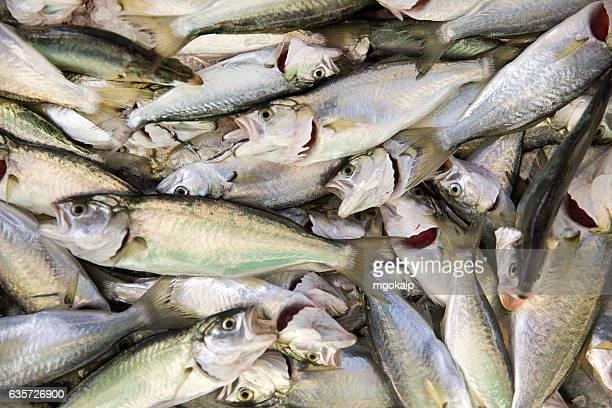 Bluefish juvenile in the fisherman market
