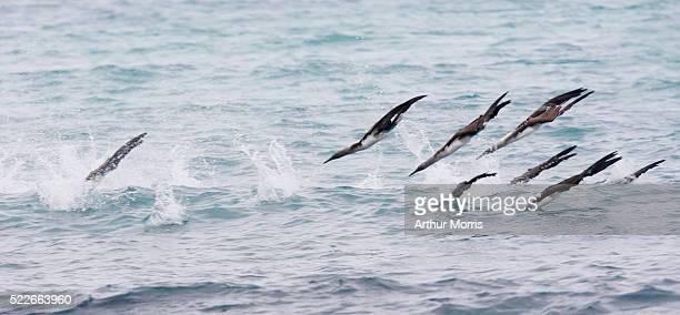 blue-footed boobies diving in water - rotspelikaan stockfoto's en -beelden