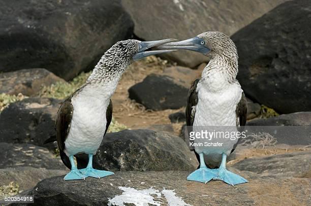 Blue-footed Boobies Exhibiting Courtship Behavior
