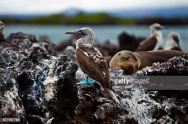 Bluefooted Boobies on a rock with a sealion in Elizabeth bay Isabela Island Galapagos