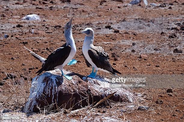 Blue-Footed Boobies Perching On Rock At Field