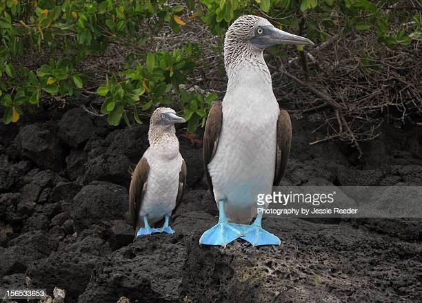 blue-footed boobies - rotspelikaan stockfoto's en -beelden