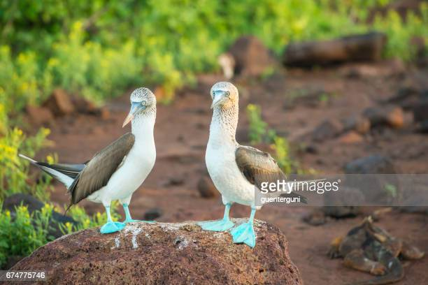 Blue-footed booby (Sula nebouxii) at Galapagos islands