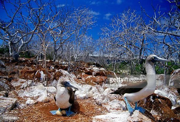 Bluefooted Booby birds protect their eggs on Galapagos Islands Ecuador