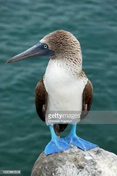 blue-footed booby (sula nebouxii), galapagos islands, ecuador - rotspelikaan stockfoto's en -beelden