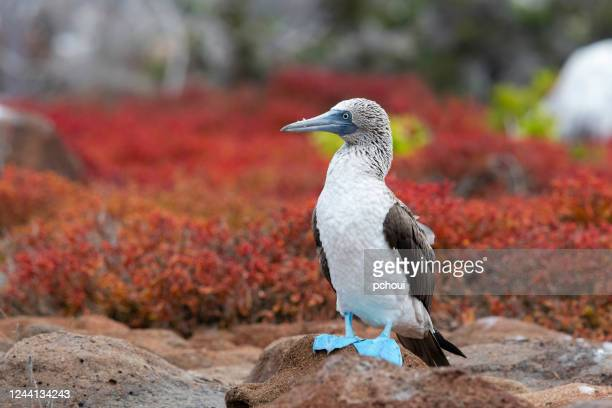 blue-footed booby, galapagos islands - animal behavior stock pictures, royalty-free photos & images