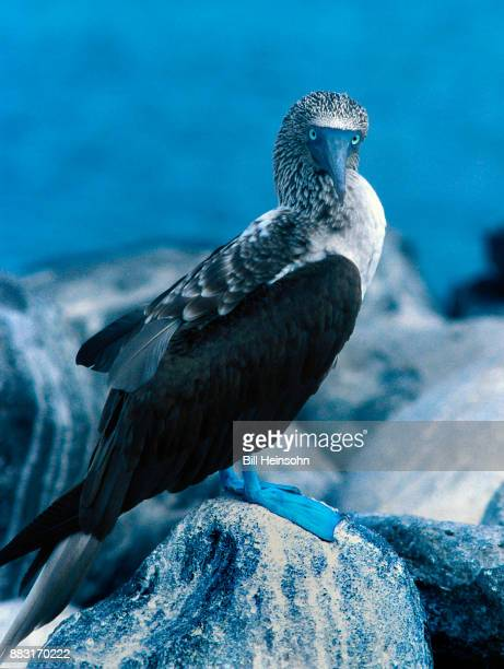 Blue-footed booby, Galapagos Islands