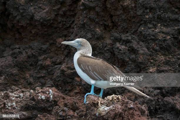 Bluefooted booby is sitting on a lava cliff on Rabida Island in the Galapagos Islands Ecuador