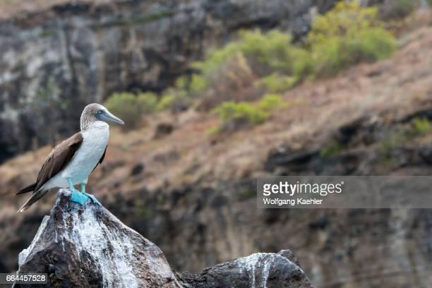 A bluefooted booby is sitting on a rock near Playa Espumilla a beach on Santiago Island in the Galapagos Islands Ecuador