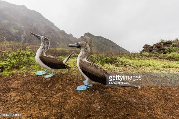 Blue-footed booby (Sula nebouxii) pair in courtship display on San Cristobal Island, Galapagos, Ecuador, South America