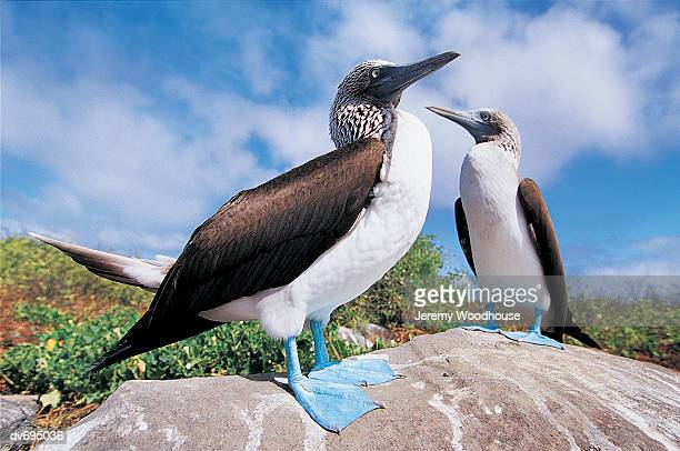 Blue-footed Booby (Sula nebouxi)