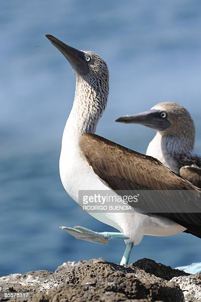 A bluefooted booby points its beak to the sun on Seymour Island in the Galapagos Archipelago 1000 km off the coast of Ecuador on March 17 2009 AFP...