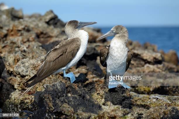 blue-footed booby (sula nebouxii), punta moreno, isabela island, galapagos islands, ecuador - rotspelikaan stockfoto's en -beelden