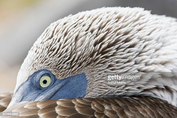 Blue-footed booby resting