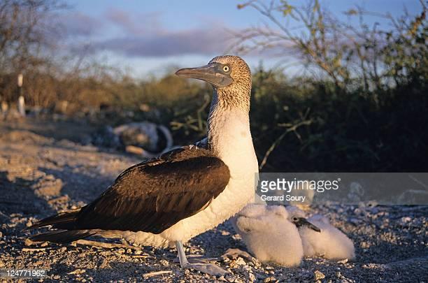 blue-footed booby (soula nebouxii) with fledglings at nest, galapagos - jan van gent stockfoto's en -beelden