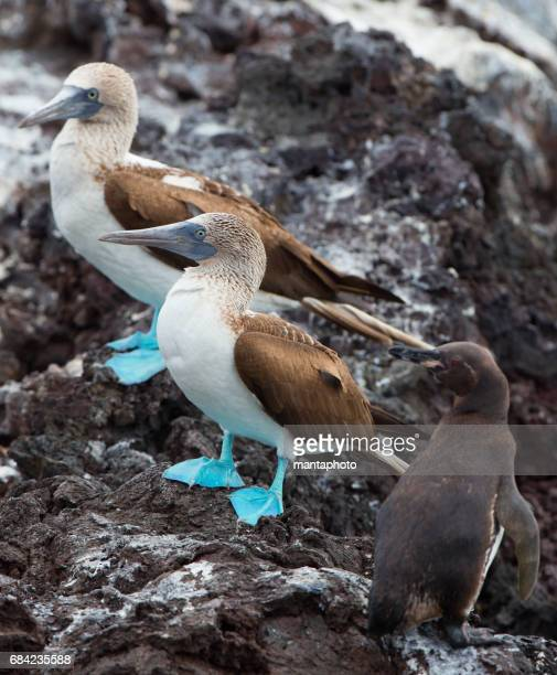 Blue-footed Boobyis