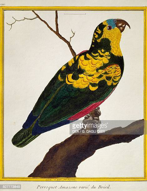 Blue-fronted Parrot , from the Histoire naturelle des oiseaux, 1765-1783, by Francois-Nicolas Martinet . France, 18th, century.