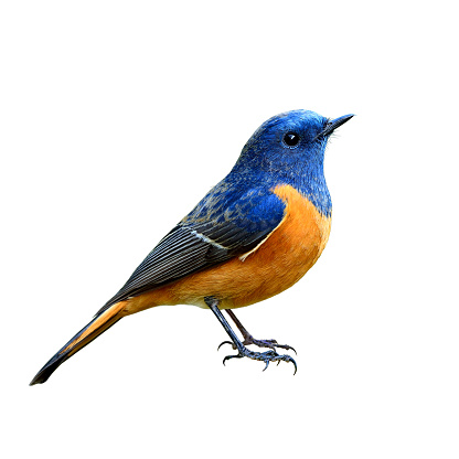 Blue-fronted Redstart (Phoenicurus frontalis) the beautiful blue 626132614