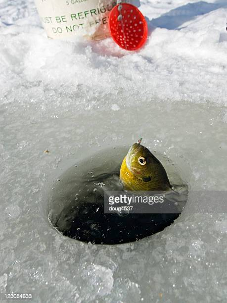 Bluegill Coming Through Hole in Ice