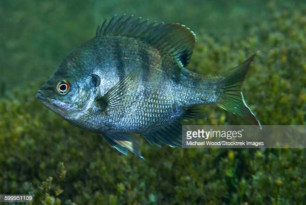 A Bluegill freshwater fish in Morrison Springs, Florida.
