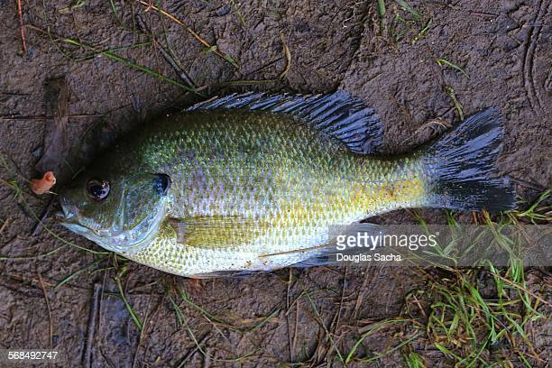 Bluegill freshwater fish (lepomis macrochirus)