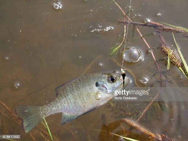 bluegill - largemouth bass stock pictures, royalty-free photos & images